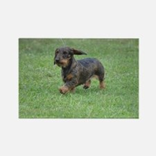 Cute Wire Haired Dachshund Rectangle Magnet