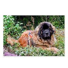 Leonberger Dog Postcards (Package of 8)