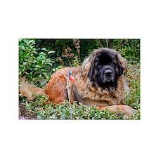 Leonberger Dog Rectangle Magnet (100 pack)