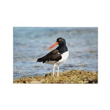 American Oystercatcher Rectangle Magnet