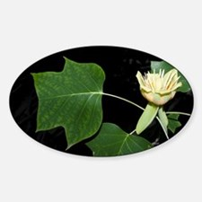 American tulip tree (Liriodendron t Decal