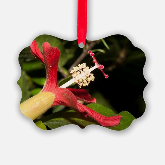 Clay's Hibiscus (Hibiscus clayi)  Ornament