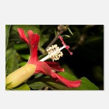 Clay's Hibiscus (Hibiscus Postcards (Package of 8)