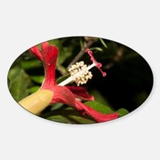 Clay's Hibiscus (Hibiscus clayi) si Decal