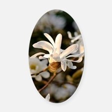 White Star Magnolia Oval Car Magnet