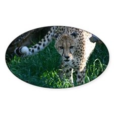 Hunting Prowling Cheetah at the Zoo Decal