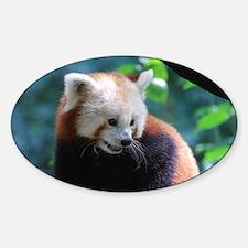 Adorable Face of a Red Panda Bear Decal