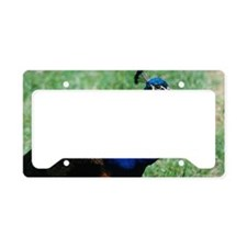 Pretty Blue Peafowl License Plate Holder