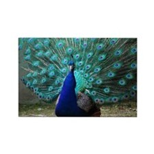 Peacock Plummage Rectangle Magnet