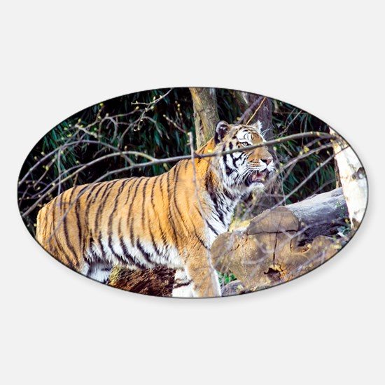 Tiger in the woods Sticker (Oval)