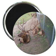 Elk and reindeer in Michigan Magnet