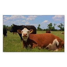 Kansas Country Hereford Cows w Decal