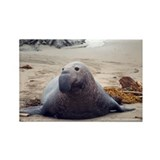 Elephant seal Single
