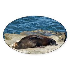 la jolla seals Decal