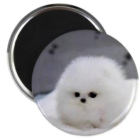 Cute Teacup Pomeranian Magnet