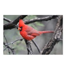 Cardinal in Sabino Canyon Postcards (Package of 8)