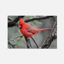 Cardinal in Sabino Canyon Magnets
