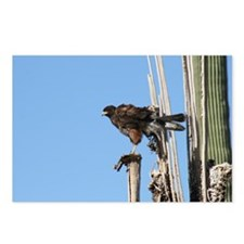 Harris Hawk Ruffling Feathers Postcards (Package o