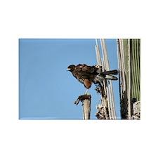 Harris Hawk Ruffling Feathers Magnets