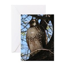 Red-tailed Hawk Staring Greeting Cards