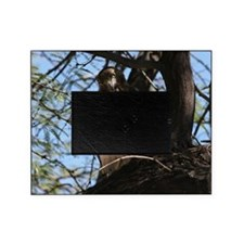 Red-tailed Hawk Staring Picture Frame