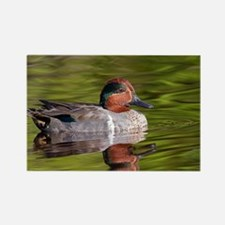 Green Winged Teal Duck Rectangle Magnet
