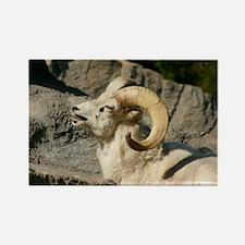 Laughing Bighorn Sheep Rectangle Magnet