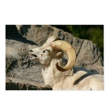 Laughing Bighorn Sheep Postcards (Package of 8)