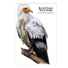 Egyptian Vulture Postcards (Package of 8)