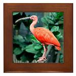 Stunning Scarlet Ibis Framed Tile