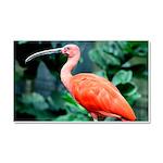 Stunning Scarlet Ibis Car Magnet 20 x 12