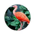 Stunning Scarlet Ibis 3.5