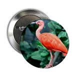 Stunning Scarlet Ibis 2.25