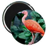 Stunning Scarlet Ibis Magnet