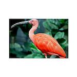Stunning Scarlet Ibis Rectangle Magnet (10 pack)