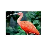 Stunning Scarlet Ibis Rectangle Magnet (100 pack)