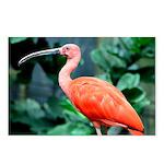Stunning Scarlet Ibis Postcards (Package of 8)