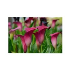 Pink calla lily flowers Rectangle Magnet