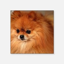 "Cute Pomeranian lover Square Sticker 3"" x 3"""