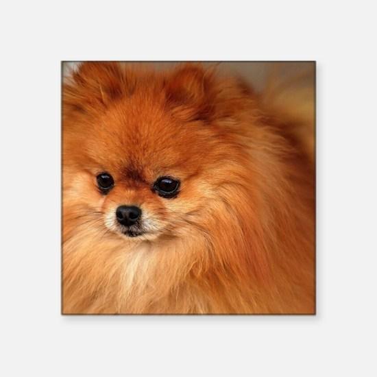 "Cute Pomeranians Square Sticker 3"" x 3"""