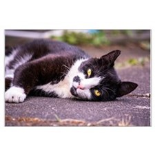Black and white cat Large Poster