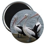 Three Gorgeous Pelicans Magnet