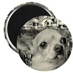 Militant Chihuahua! Magnet