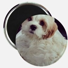 Barney the Cavachon relaxing Magnet