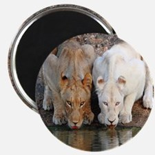 Lions Magnets