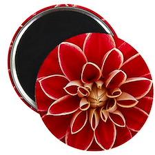 Red Dahlia Closeup Magnet