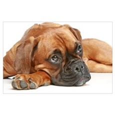 Thoughtful German Boxer Puppy Poster