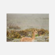 Baby wild vicuna (Vicugna vicugna Rectangle Magnet