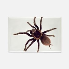 Hairy Brown Tarantula Magnets