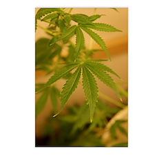 marijuana plant Postcards (Package of 8)